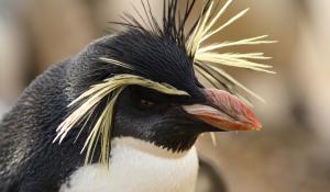 ruthless penguin